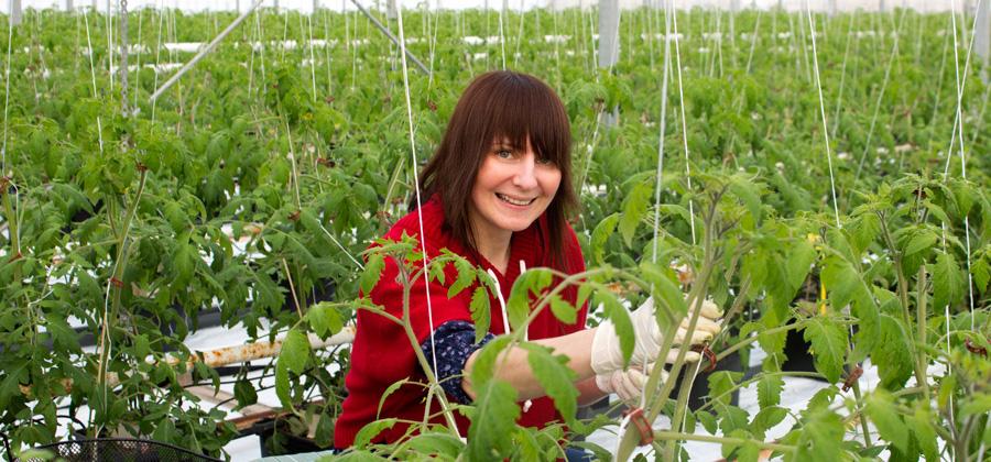 Vikentomaters anställda är ett sammansvetsat team.<br />Läs mer om  Jolantas jobb ute i växthuset.