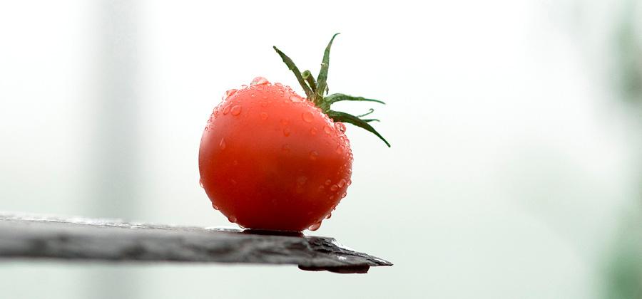 Våra tomater varierar i sötma, fasthet och smakstyrka. Vikensmaker hjälper dig att välja rätt.